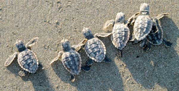 Help the turtles hatchlings to the water at Rosalie Bay, Dominica