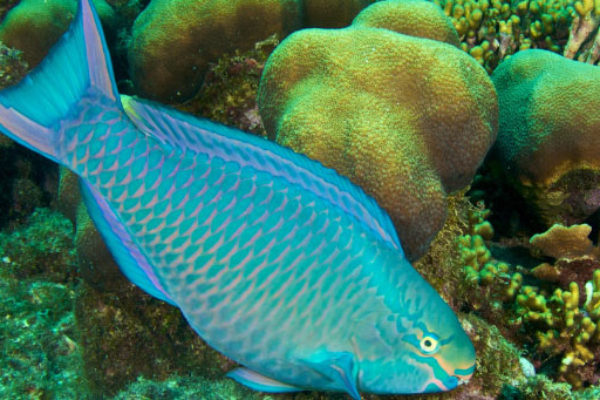 Image of a Parrotfish