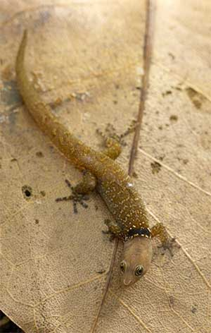 Image of a Pygmy Gecko