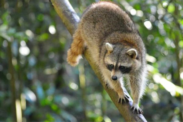 Image: Raccoon from Guadeloupe