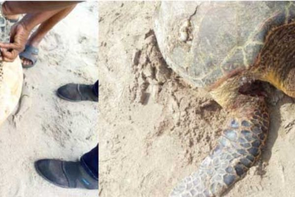 Image: Lacerations to the hind and front flippers of female hawksbill turtle.