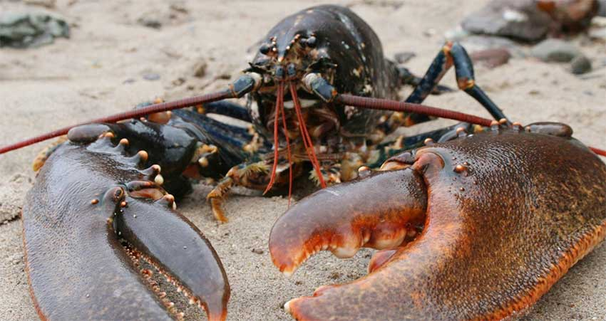 Lobster Fishery to Open August 2