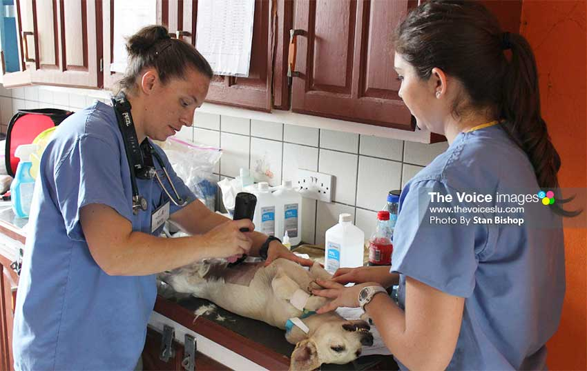 Image of volunteers prepping one of the dogs for surgery last Saturday. [PHOTO: Stan Bishop]