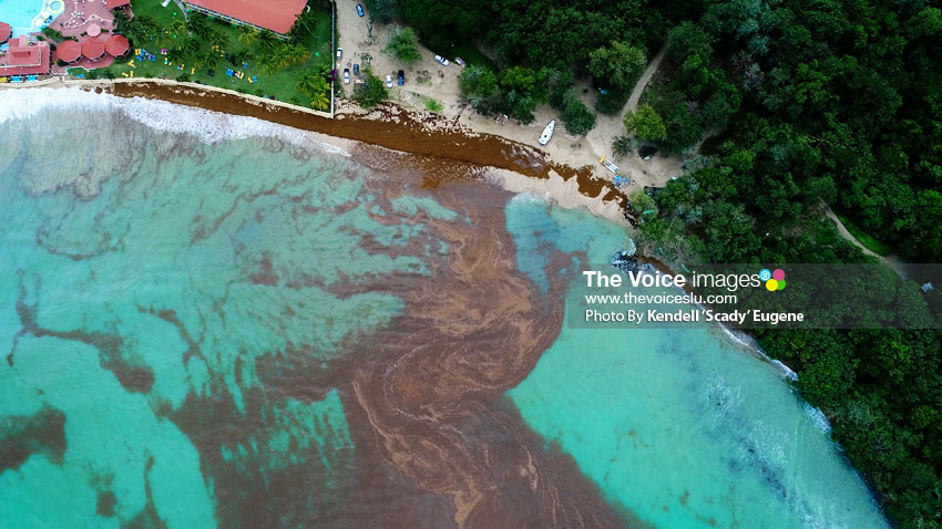 Sargassum — the Brown Seaweed Invades the North - St  Lucia News