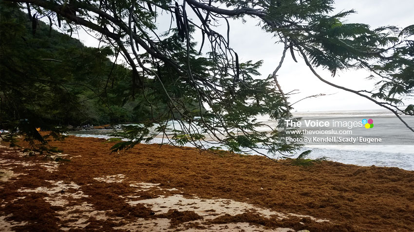 Image of Sargassum on Reduit Beach shoreline