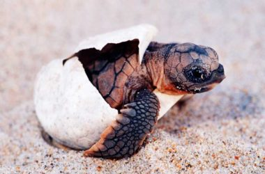 Image: Turtle Nesting has become a popular Caribbean past time, not only for visitors but more so for the region's people, to better understand the interrelationship between humans and nature.