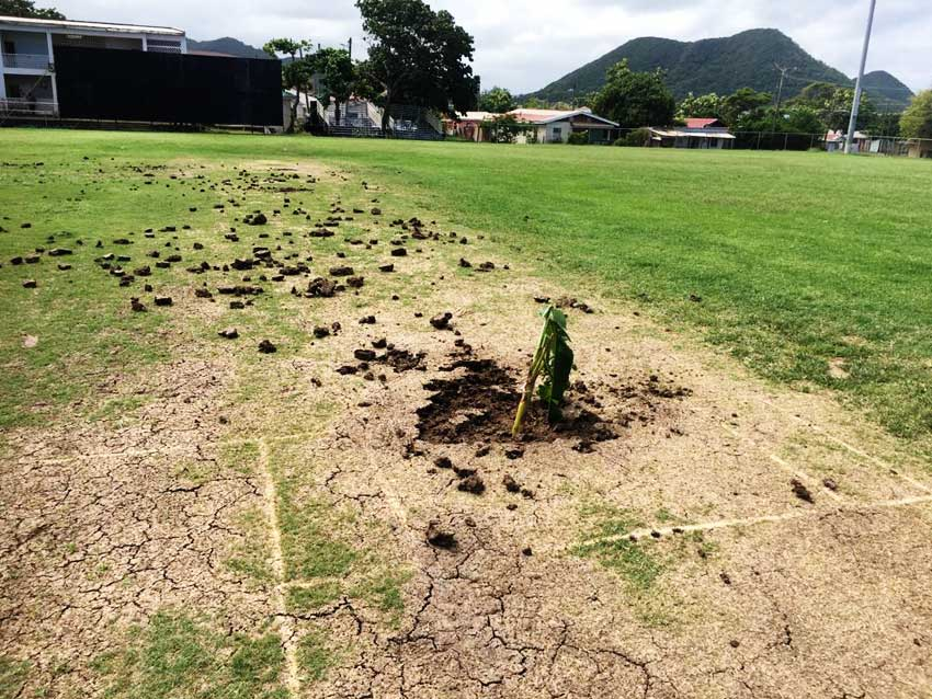 Image of a banana tree planted on the cricket pitch