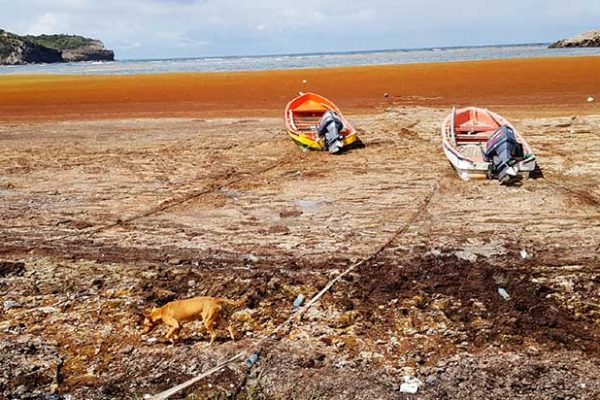 Image: The golden sandy beaches of yesterday and yesteryear are now covered in Sargassum seaweed, making it impossible for many to today enjoy pastimes they grew-up with.