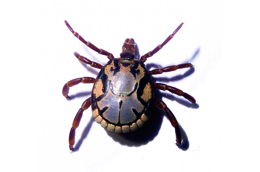 Image of the Amblyomma Tick