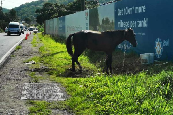 Image: After being hit by a motor vehicle, this horse which attracted significant public attention remained tied and bleeding by the side of the road for several days.
