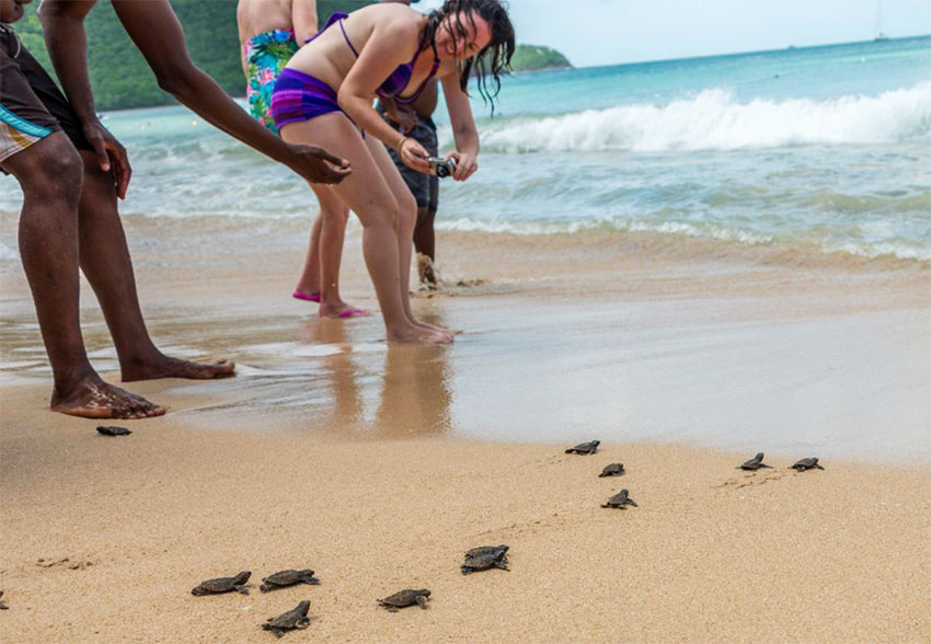 Image of Baby sea turtles on their way to the ocean at Reduit Beach near Bay Gardens in St Lucia.