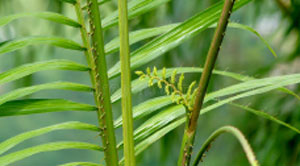 Image of spiky rattan plant.